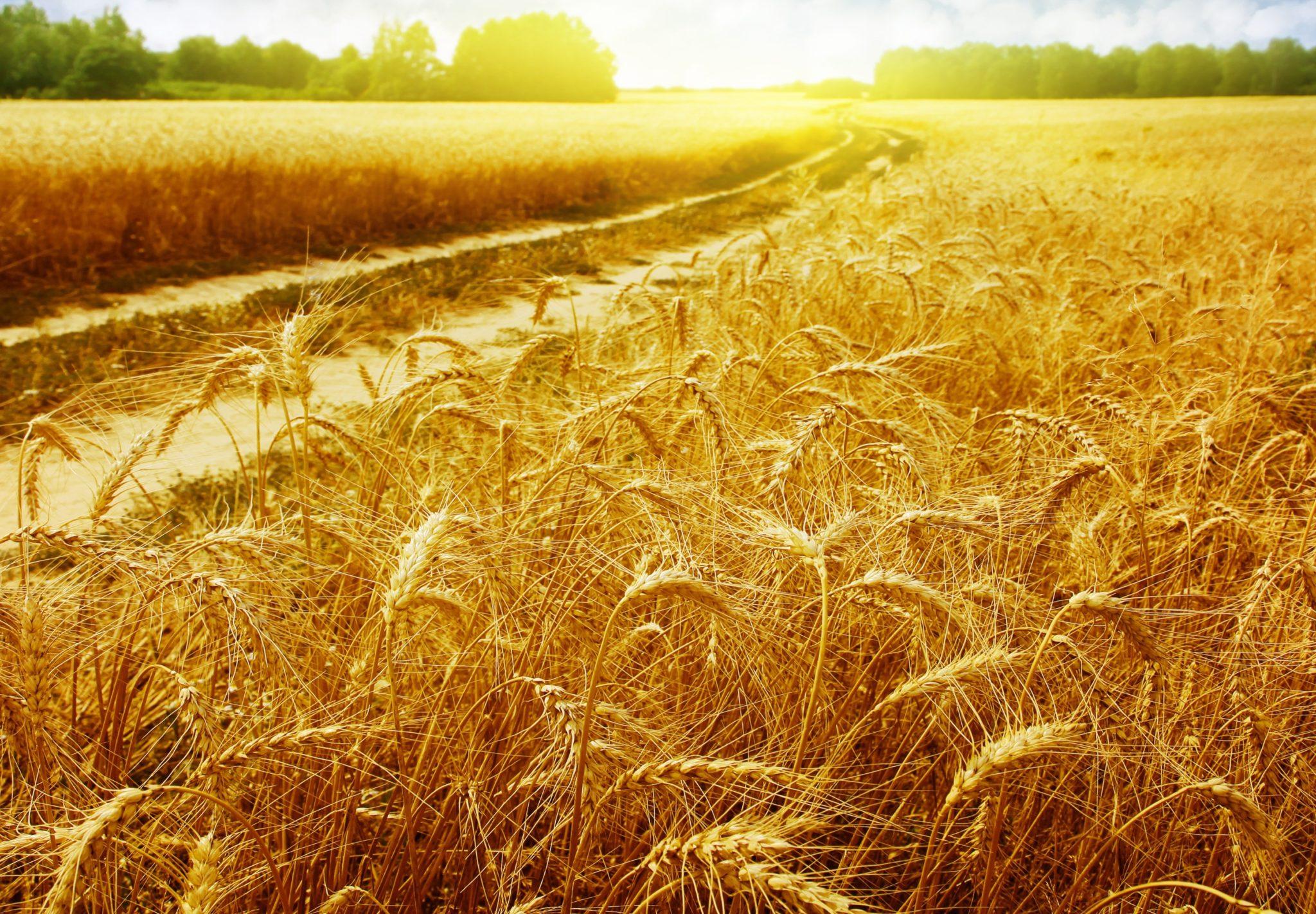 Mitos e verdades sobre consumo de trigo